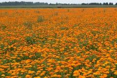 поле calendula Стоковое Фото