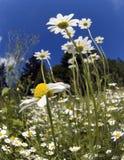 поле camomiles Стоковое Изображение