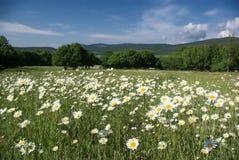 поле camomiles Стоковая Фотография RF