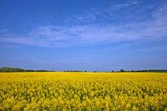 поле canola золотистое Стоковые Фото