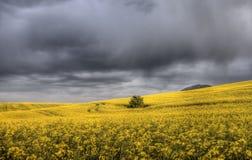 поле canola над штормом Стоковое Изображение