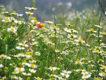 поле chamomille Стоковое Изображение