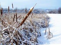 Поле corndogs покрытых снега и льда в зиме, Стоковое фото RF
