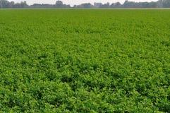 поле emilia cloverleaf Стоковое Изображение RF
