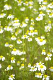 поле ii стоцвета Стоковые Фото