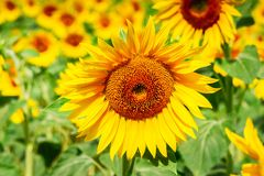 поле l солнцецветы стоковая фотография rf