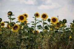 поле l солнцецветы стоковые изображения rf