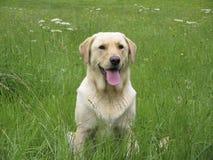 поле labrador собаки Стоковое Изображение