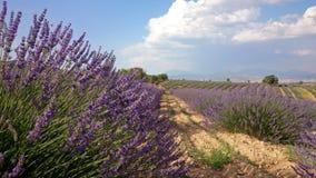 поле lavendar Стоковое Фото