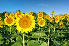 Поле McKee Beshers Мэриленд солнцецвета Стоковое фото RF