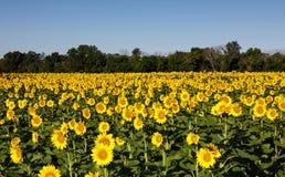 Поле McKee Beshers Мэриленд солнцецвета Стоковое Фото