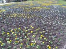 Поле pansies в желтой и голубом Стоковое Изображение RF