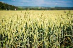Поле Rye в сельской местности в солнце Стоковые Изображения