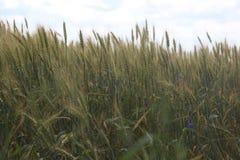 Поле Rye, поле рож в лете стоковое изображение rf