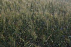 Поле Rye, поле рож в лете стоковые изображения