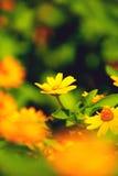 поле s маргаритки Стоковая Фотография