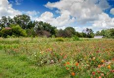 Поле zinnias в Мичигане Стоковые Фото