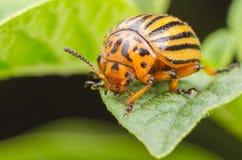 Ползания жука Колорадо над листьями картошки Стоковые Изображения