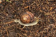 Ползания улитки сада на земле Земной gastropod стоковое изображение