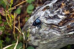 Ползучесть жука Dor на сухом хоботе дерева Стоковые Изображения RF