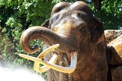 поливать слона Стоковая Фотография