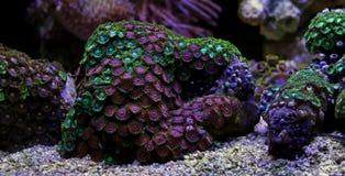 Полипы коралла в сцене танка аквариума рифа Стоковые Изображения