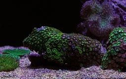 Полипы коралла в сцене танка аквариума рифа Стоковое Фото
