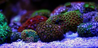 Полипы коралла в сцене танка аквариума рифа Стоковая Фотография RF