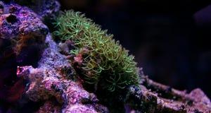Полипы коралла в сцене танка аквариума рифа Стоковое Изображение RF