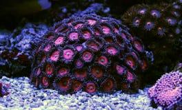 Полипы коралла в сцене танка аквариума рифа Стоковое фото RF