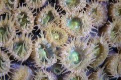 полипы коралла Стоковая Фотография