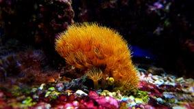 Полипы коралла Zoanthus в сцене танка аквариума рифа Стоковые Изображения RF