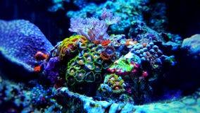 Полипы коралла Zoanthus в сцене танка аквариума рифа Стоковая Фотография