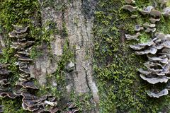 Полка величает растущ на стволе дерева покрытом мхом Стоковое Изображение RF