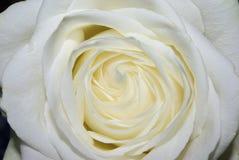 полная белизна розы Стоковые Фото