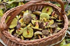Полная корзина грибов Стоковое фото RF