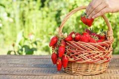 Полная корзина с как раз выбранными свежими красными зрелыми клубниками и fem Стоковые Изображения