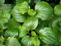 Полная предпосылка рамки зеленых одичалых листьев бетэла Стоковое Изображение