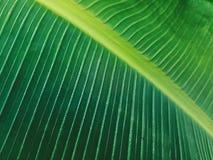 Полная предпосылка рамки свежих зеленых лист банана Стоковое Изображение