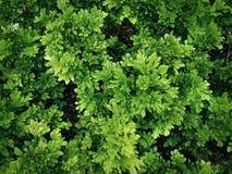 Полная предпосылка рамки свежих зеленых растений Буша Стоковые Фото