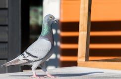 Полное тело самонаводя птицы голубя на домашней крыше просторной квартиры Стоковое Изображение RF