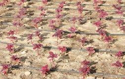 полностью вода шпината китайской трубы листьев потека красная Стоковые Изображения RF