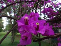 полностью красивейший цветок bouganvilla свои бумажные тернии Стоковая Фотография