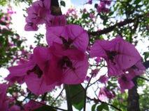 полностью красивейший цветок bouganvilla свои бумажные тернии Стоковое Фото