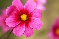 Полностью цветене с красивыми персидскими цветками в парке стоковая фотография