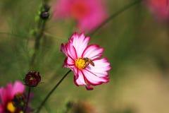 Полностью цветене с красивыми персидскими цветками в парке стоковые изображения rf