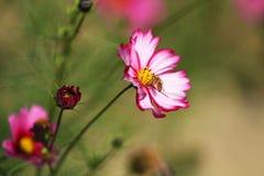 Полностью цветене с красивыми персидскими цветками в парке стоковое фото rf