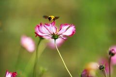 Полностью цветене с красивыми персидскими цветками в парке стоковое изображение rf