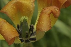 Полно- взгляд тюльпана стоковое изображение