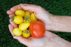 полные томаты руки Стоковое Изображение RF